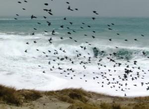 storm beach starlings